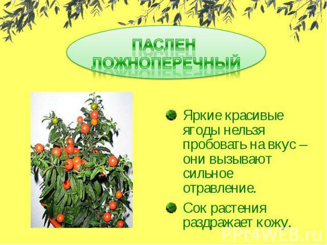 ПАСЛЕН ЛОЖНОПЕРЕЧНЫЙЯркие красивые ягоды нельзя пробовать на вкус – они вызывают сильное отравление.Сок растения раздражает кожу.