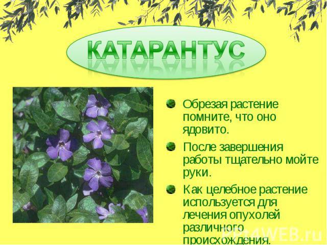 КАТАРАНТУСОбрезая растение помните, что оно ядовито.После завершения работы тщательно мойте руки.Как целебное растение используется для лечения опухолей различного происхождения.