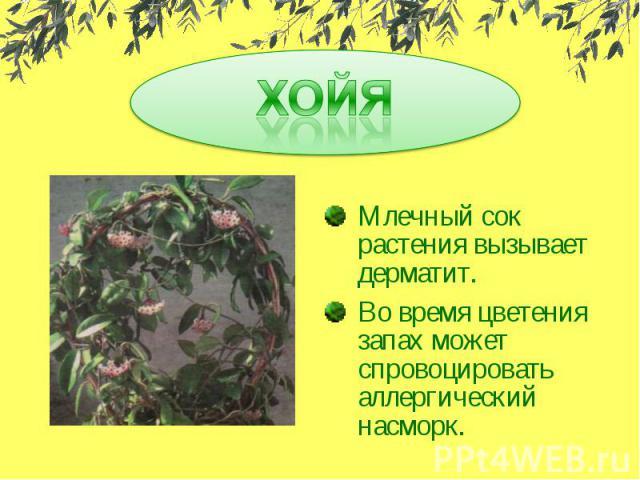ХОЙЯМлечный сок растения вызывает дерматит.Во время цветения запах может спровоцировать аллергический насморк.
