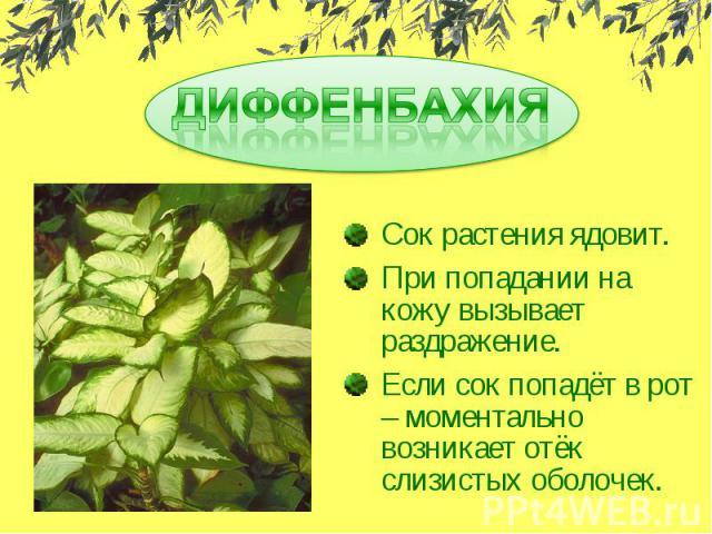 ДИФФЕНБАХИЯСок растения ядовит.При попадании на кожу вызывает раздражение.Если сок попадёт в рот – моментально возникает отёк слизистых оболочек.