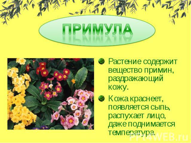 ПРИМУЛАРастение содержит вещество примин, раздражающий кожу.Кожа краснеет, появляется сыпь, распухает лицо, даже поднимается температура.