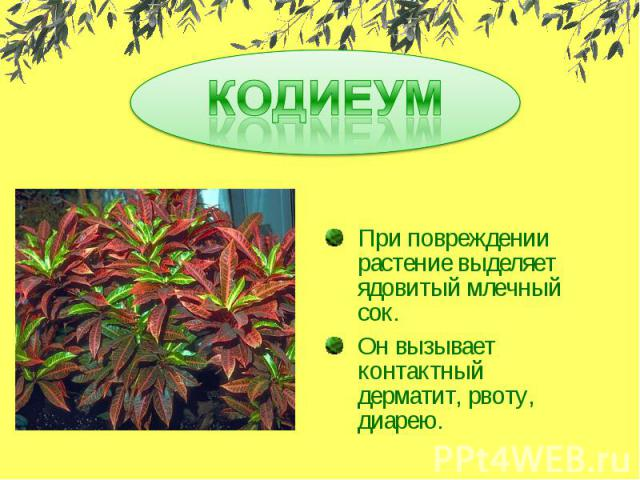 КОДИЕУМ При повреждении растение выделяет ядовитый млечный сок.Он вызывает контактный дерматит, рвоту, диарею.