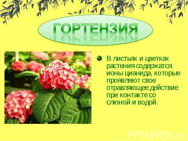 ГОРТЕНЗИЯВ листьях и цветках растения содержатся ионы цианида, которые проявляют свое отравляющее действие при контакте со слюной и водой.