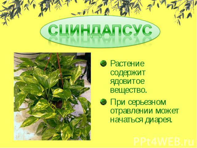 СЦИНДАПСУСРастение содержит ядовитое вещество.При серьезном отравлении может начаться диарея.