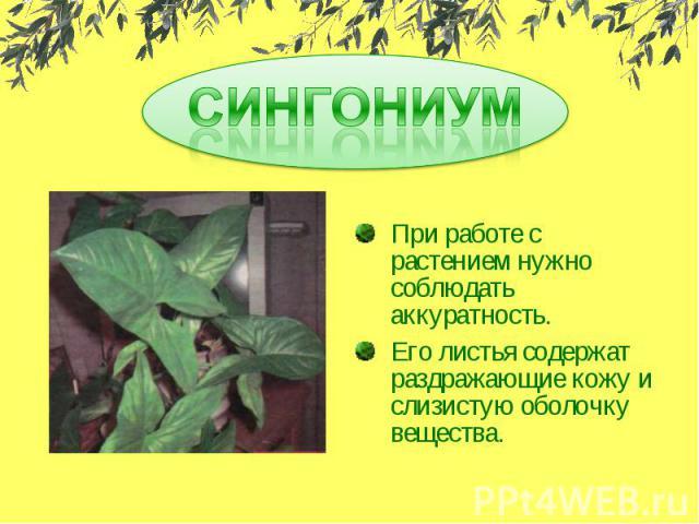 При работе с растением нужно соблюдать аккуратность.Его листья содержат раздражающие кожу и слизистую оболочку вещества.