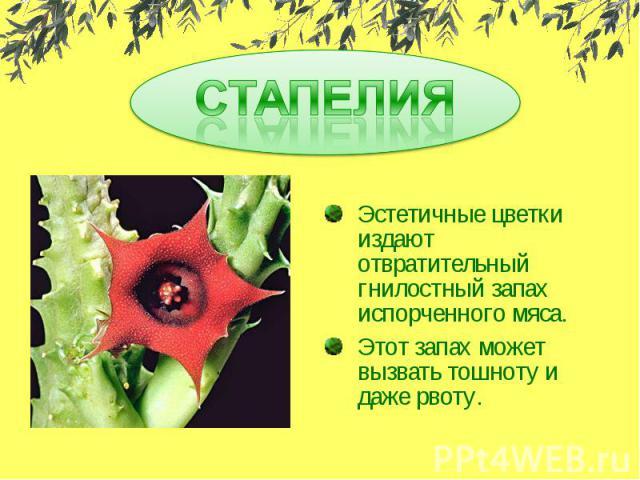 СТАПЕЛИЯ Эстетичные цветки издают отвратительный гнилостный запах испорченного мяса.Этот запах может вызвать тошноту и даже рвоту.