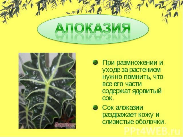 АЛОКАЗИЯ При размножении и уходе за растением нужно помнить, что все его части содержат ядовитый сок.Сок алоказии раздражает кожу и слизистые оболочки.