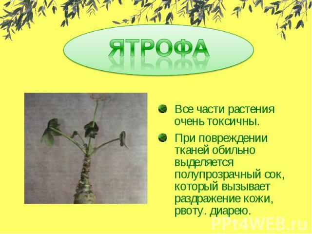 ЯТРОФАВсе части растения очень токсичны.При повреждении тканей обильно выделяется полупрозрачный сок, который вызывает раздражение кожи, рвоту. диарею.