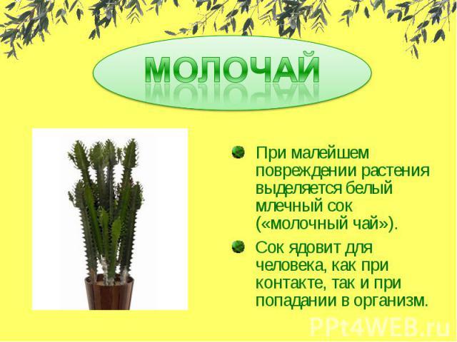МОЛОЧАЙПри малейшем повреждении растения выделяется белый млечный сок («молочный чай»).Сок ядовит для человека, как при контакте, так и при попадании в организм.