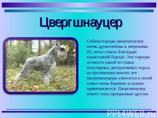 Собаки породы цвергшнауцер очень дружелюбны и энергичны. Их легко узнать благода