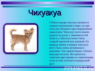 Собаки породы чихуахуа являются самыми маленькими в мире, но при этом они облада