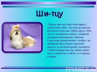 Порода ши-тцу тоже популярна у любителей собак. Эту породу вывели исключительно