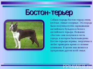Собаки породы бостон-терьер очень весёлые, умные и верные. Эта порода была получ