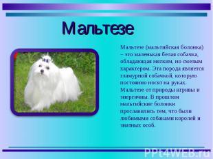 Мальтезе (мальтийская болонка) – это маленькая белая собачка, обладающая мягким,