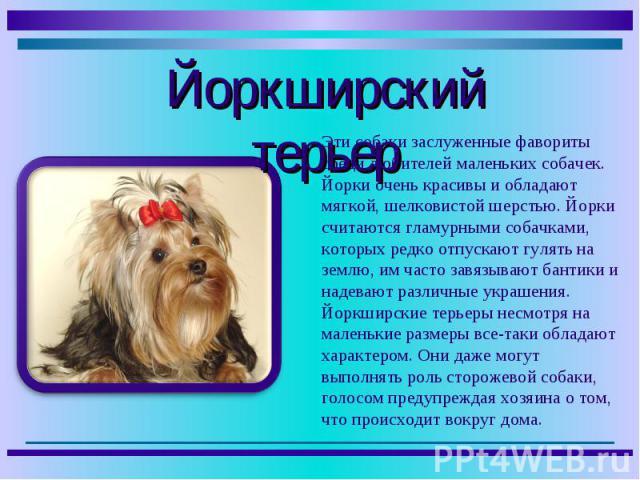 Эти собаки заслуженные фавориты среди любителей маленьких собачек. Йорки очень красивы и обладают мягкой, шелковистой шерстью. Йорки считаются гламурными собачками, которых редко отпускают гулять на землю, им часто завязывают бантики и надевают разл…