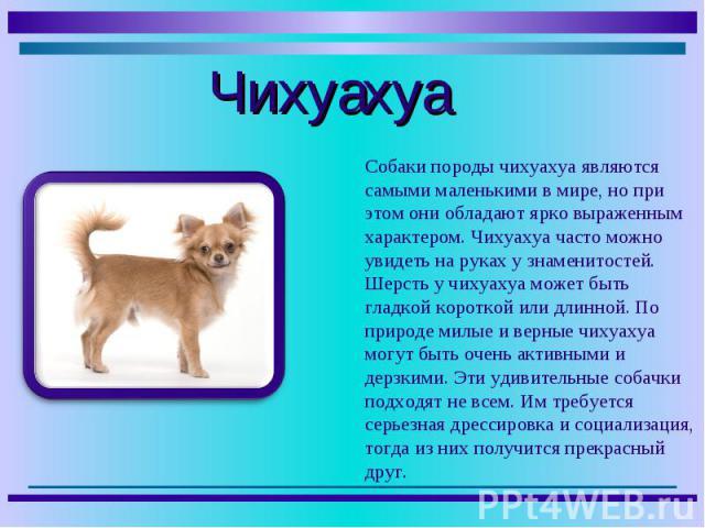 Собаки породы чихуахуа являются самыми маленькими в мире, но при этом они обладают ярко выраженным характером. Чихуахуа часто можно увидеть на руках у знаменитостей. Шерсть у чихуахуа может быть гладкой короткой или длинной. По природе милые и верны…