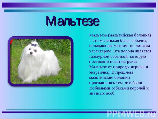 Мальтезе (мальтийская болонка) – это маленькая белая собачка, обладающая мягким, но смелым характером. Эта порода является гламурной собачкой, которую постоянно носят на руках. Мальтезе от природы игривы и энергичны. В прошлом мальтийские болонки пр…