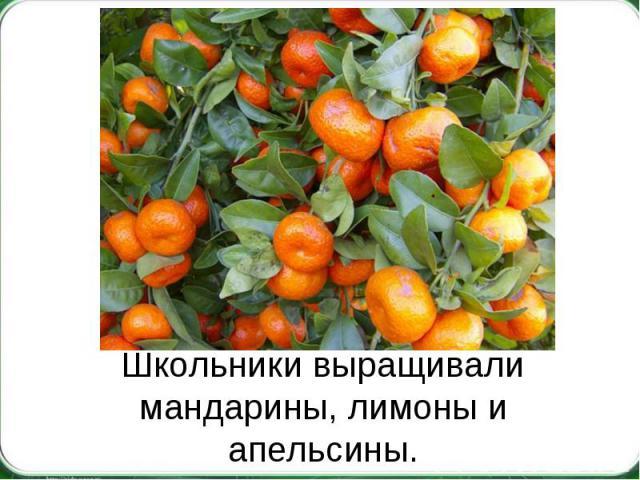 Школьники выращивали мандарины, лимоны и апельсины.