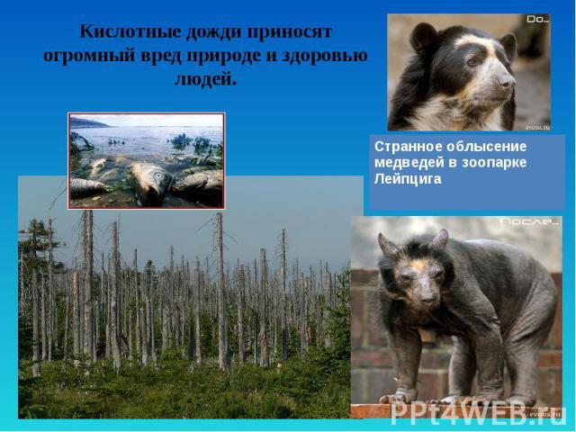Кислотные дожди приносят огромный вред природе и здоровью людей. Странное облысение медведей в зоопарке Лейпцига