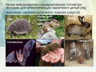 Кроме живорождения и выкармливания потомства молоком, для млекопитающих характер