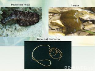 Ресничные черви ПиявкаВзрослый волосатик