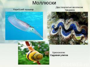 Моллюски Карибский кальмарДвустворчатые моллюски ТридакнаБрюхоногие Садовая улит