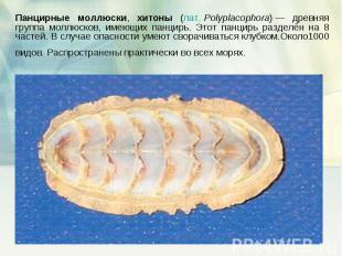 Панцирные моллюски, хитоны (лат.Polyplacophora)— древняя группа моллюсков, име
