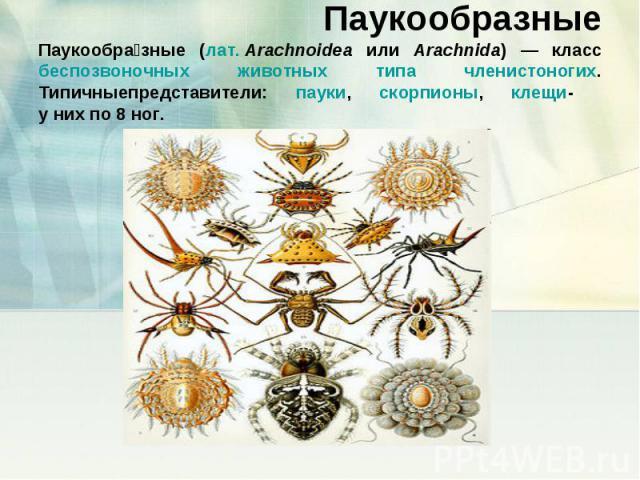 ПаукообразныеПаукообразные (лат.Arachnoidea или Arachnida) — класс беспозвоночных животных типа членистоногих. Типичныепредставители: пауки, скорпионы, клещи- у них по 8 ног.