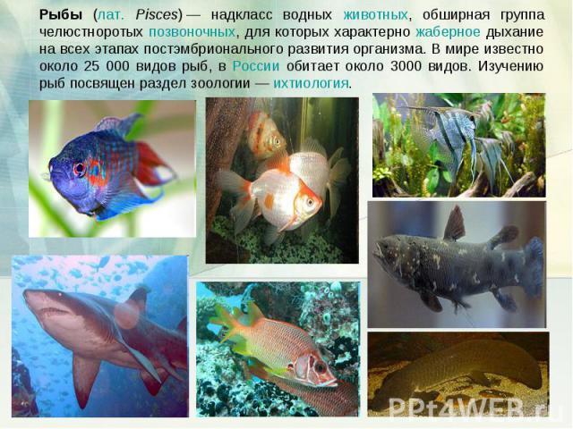 Рыбы (лат. Pisces)— надкласс водных животных, обширная группа челюстноротых позвоночных, для которых характерно жаберное дыхание на всех этапах постэмбрионального развития организма. В мире известно около 25 000 видов рыб, в России обитает около 30…