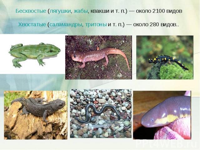 Бесхвостые (лягушки, жабы, квакши и т.п.)— около 2100 видов Хвостатые (саламандры, тритоны и т.п.)— около 280 видов..