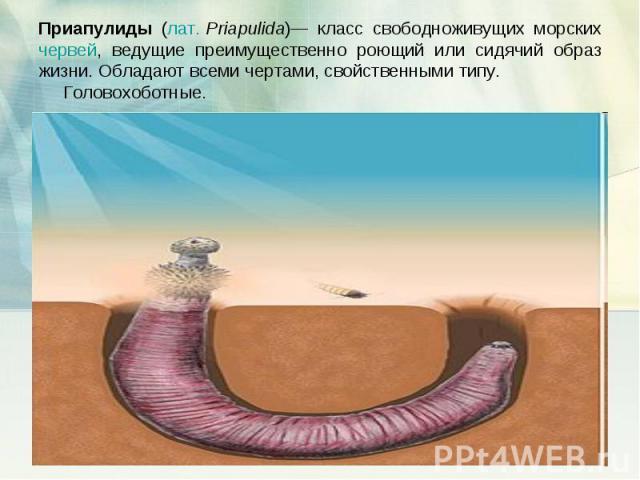 Приапулиды (лат.Priapulida)— класс свободноживущих морских червей, ведущие преимущественно роющий или сидячий образ жизни. Обладают всеми чертами, свойственными типу. Головохоботные.
