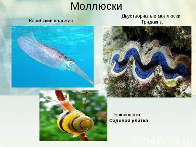 Моллюски Карибский кальмарДвустворчатые моллюски ТридакнаБрюхоногие Садовая улитка