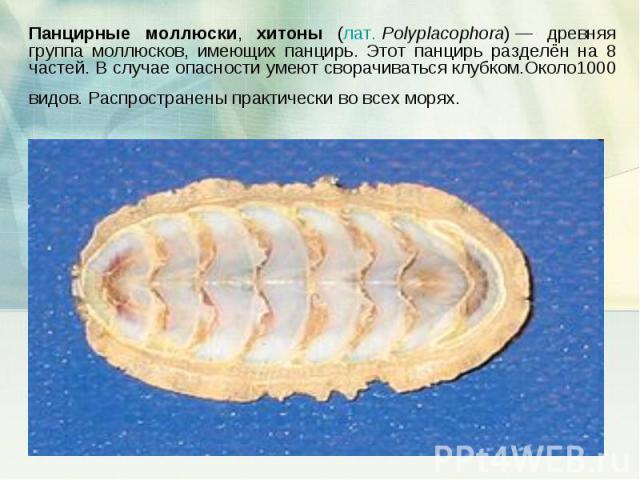 Панцирные моллюски, хитоны (лат.Polyplacophora)— древняя группа моллюсков, имеющих панцирь. Этот панцирь разделён на 8 частей. В случае опасности умеют сворачиваться клубком.Около1000 видов. Распространены практически во всех морях.