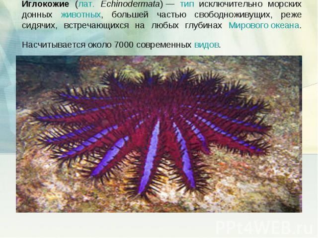 Иглокожие (лат. Echinodermata)— тип исключительно морских донных животных, большей частью свободноживущих, реже сидячих, встречающихся на любых глубинах Мирового океана. Насчитывается около 7000 современных видов.