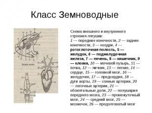 Класс Земноводные Схема внешнего и внутреннего строения лягушки:1 — передние кон