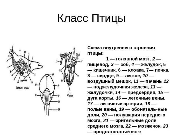 Класс Птицы Схема внутреннего строения птицы:1 — головной мозг, 2 — пищевод, 3 — зоб, 4 — желудок, 5 — кишечник, 6 — клоака, 7— почка, 8 — сердце, 9— легкое, 10 — воздушный мешок, 11 — печень 12 — поджелудочная железа, 13 — желудочки, 14 — предсерди…
