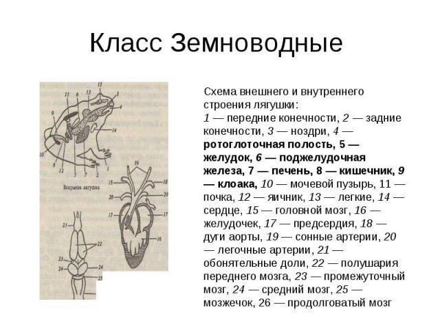 Класс Земноводные Схема внешнего и внутреннего строения лягушки:1 — передние конечности, 2 — задние конечности, 3 — ноздри, 4 — ротоглоточная полость, 5 — желудок, 6 — поджелудочная железа, 7 — печень, 8 — кишечник, 9 — клоака, 10 — мочевой пузырь, …