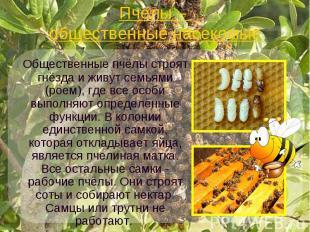 Пчелы – общественные насекомые Общественные пчёлы строят гнёзда и живут семьями