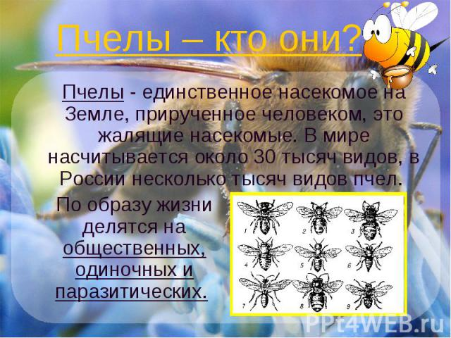 Пчелы – кто они? Пчелы - единственное насекомое на Земле, прирученное человеком, это жалящие насекомые. В мире насчитывается около 30 тысяч видов, в России несколько тысяч видов пчел. По образу жизни делятся на общественных, одиночных и паразитических.