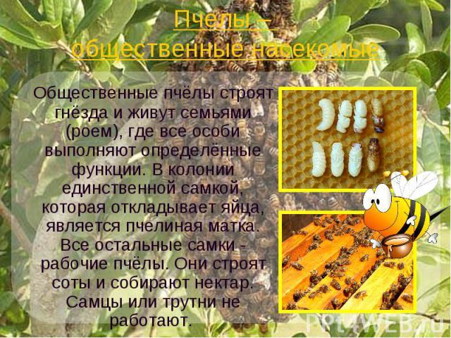Пчелы – общественные насекомые Общественные пчёлы строят гнёзда и живут семьями (роем), где все особи выполняют определённые функции. В колонии единственной самкой, которая откладывает яйца, является пчелиная матка. Все остальные самки - рабочие пчё…