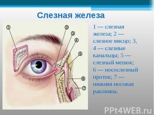 Слезная железа 1 — слезная железа; 2 — слезное мясцо; 3, 4 — слезные канальцы; 5