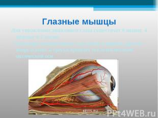 Глазные мышцы Для управления движением глаза существует 6 мышц: 4 прямые и 2 кос