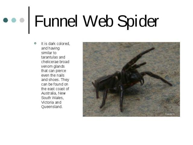 Funnel Web Spider It is dark colored, and having similar to tarantulas and chelicerae broad venom glands that can pierce even the nails and shoes. They can be found on the east coast of Australia, New South Wales, Victoria and Queensland.