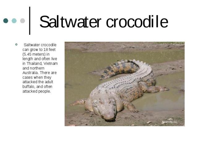 Saltwater crocodile Saltwater crocodile can grow to 18 feet (5.45 meters) in length and often live in Thailand, Vietnam and northern Australia. There are cases when they attacked the adult buffalo, and often attacked people.