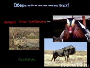 Оберегайте этих животных! Утка - мандаринкаГолубой гну
