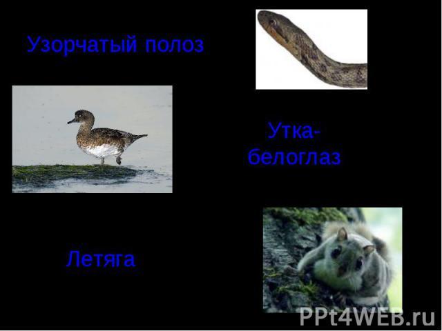 Узорчатый полоз Утка-белоглазЛетяга