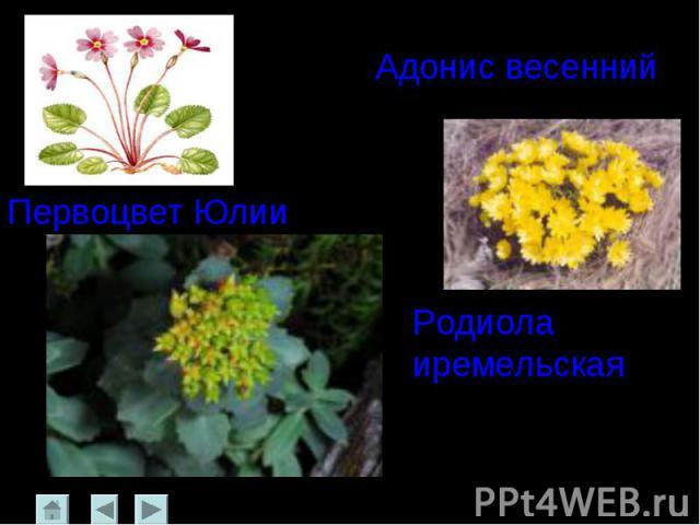 Адонис весенний Первоцвет ЮлииРодиола иремельская