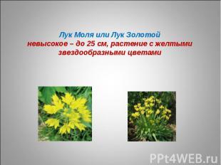 Лук Моля или Лук Золотойневысокое – до 25 см, растение с желтыми звездообразными