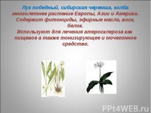 Лук победный, сибирская черемша, колбамноголетнее растение Европы, Азии и Америк