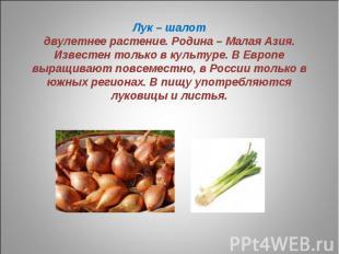 Лук – шалотдвулетнее растение. Родина – Малая Азия. Известен только в культуре.